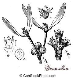 Misletoe shrub, botanical vintage engraving