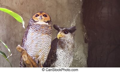 Two owls of different species share a perch. FullHD 1080p footage