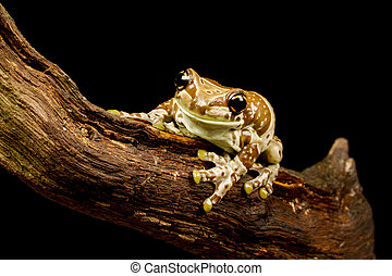 Mission golden-eyed tree frog or Amazon milk frog (...