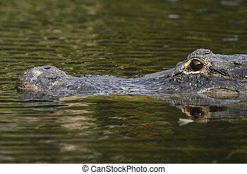 mississippiensis), caimán, na, everglades, norteamericano,...