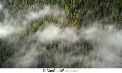 Mist drifts amongst branches of mature spruce trees in ...