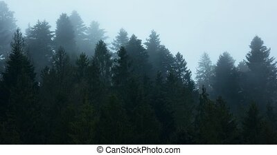 Thick mist forms and drifts over treetops of a temperate rainforest on the slopes of the Carpathian Mountain in Ukraine. 4k DCI stock footage