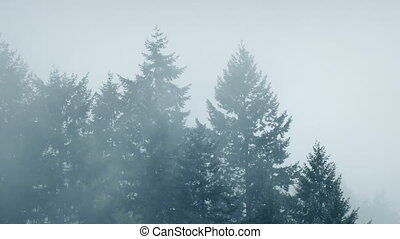 Mist Shrouds Large Forest Trees - Tall trees in cold weather...
