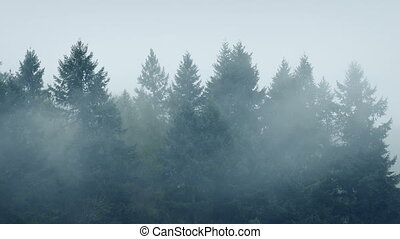 Mist Swirling Around Forest Trees - Tall trees in cold...