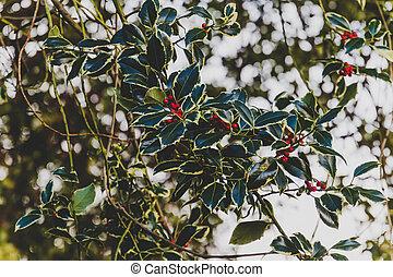 mistelten, branches, røde berries