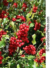 mistelten, røde berries