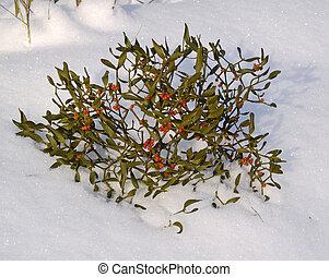 mistelten, sne, branch, berries