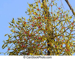mistelten, vinter, branch, berries