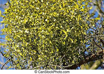 Mistletoe 09