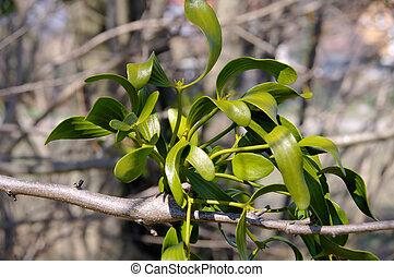 mistletoe, 14