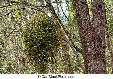 mistletoe, europeu