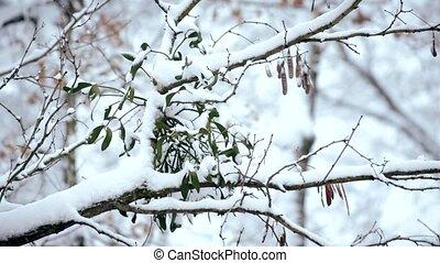 Mistletoe in snow on tree branch in forest