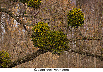 Mistletoe on a tree. disease mistletoe. Blue sky
