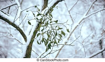 Mistletoe on tree branch outdoors in winter covered with falling snow