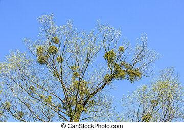 mistletoe on tree
