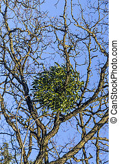 mistletoe on tree under blue sky