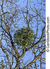 mistletoe on tree under blue sky