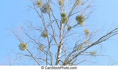 Mistletoe parasite plant grow on birch tree branches. Static...