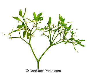 Mistletoe twig with leaves and berries isolated over white background