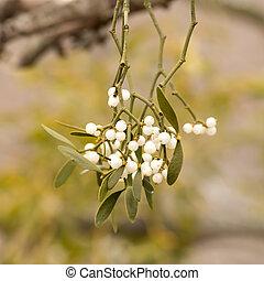 Mistletoe white berries - Viscum album