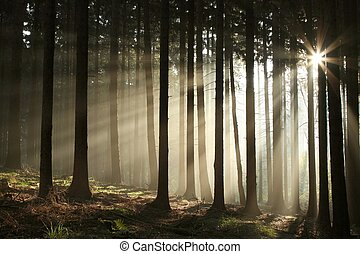 Sunbeams entering coniferous forest on a misty autumnal morning