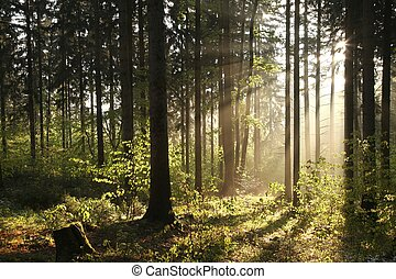 Misty coniferous forest at dawn - Coniferous forest backlit...