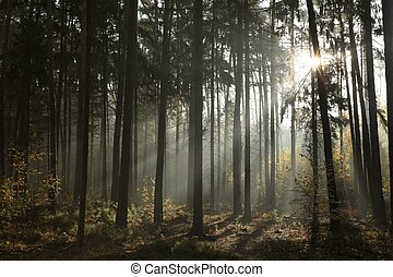 Misty coniferous forest at dawn - Sunbeams enter the misty...