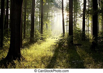 Misty deciduous forest at dawn - Sunlight entering the...