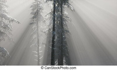 Misty Fog in Pine Forest on Mountain Slopes - misty fog in...