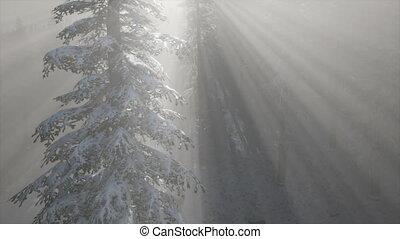 Misty Fog in Pine Forest on Mountain Slopes - misty fog in...