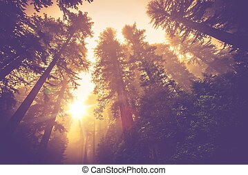 Misty Forest Trail. Magic Redwood Forest Scenery in Warm...