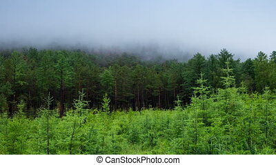 Misty green forest, the fog moves over the trees. Siberian taiga, 4k, time lapse