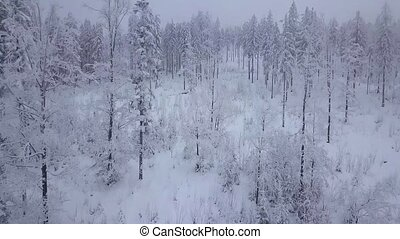Misty haze above white snowy woods - Coniferous forest with...