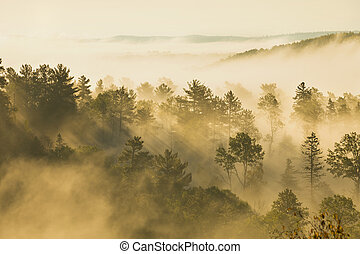 Misty hillside with pines and aspens in morning light -...