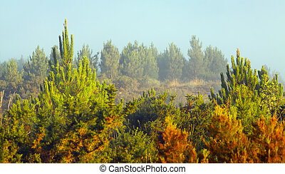 Misty landscape with pine forest