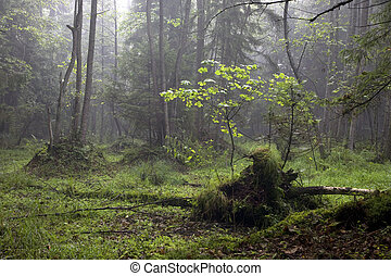 Misty morning in alder-carr stand of Bialowieza Forest with ...