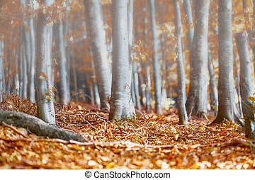 Misty morning in the autumn beech forest
