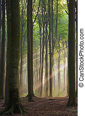 Sunbeams in a misty morning forest