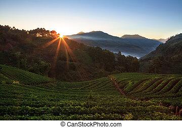 misty morning sunrise in strawberry garden at doi angkhang mount