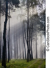 Misty old foggy forest at sunrise