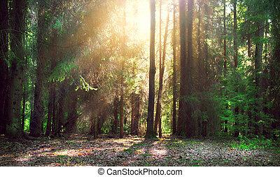 Misty old forest with sun rays, shadows and fog