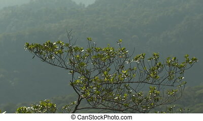 Misty Rainforest Behind Snakewood Tree, Costa Rica - Wide...