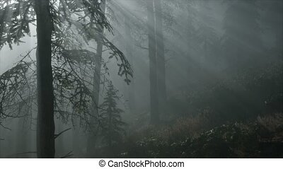 Misty Spring Morning in Pine Tree Forest - misty spring...