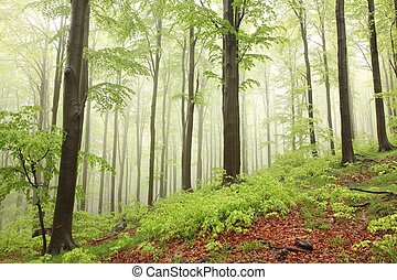 Spring beech forest in the rain surrounded by mountain mist.