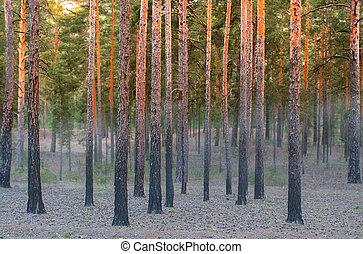Misty sunrise in the pine trees forest.