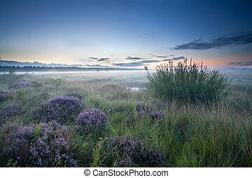 misty sunrise over heathland with flowering heather