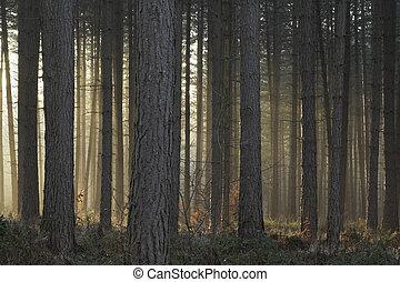 misty træer, oplyst, af, sætte sol