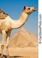 mitad, camello, pirámides, todos, fila