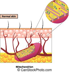 mitochondrion, 案
