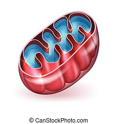 Mitochondrion a part of the cell. Mitochondrion generates...